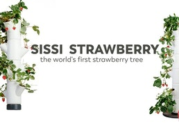 SISSI STRAWBERRY - Grow Your Own Fresh Strawberries